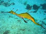 200px_phyllopteryx_taeniolatus1.jpg - 4.99 KB